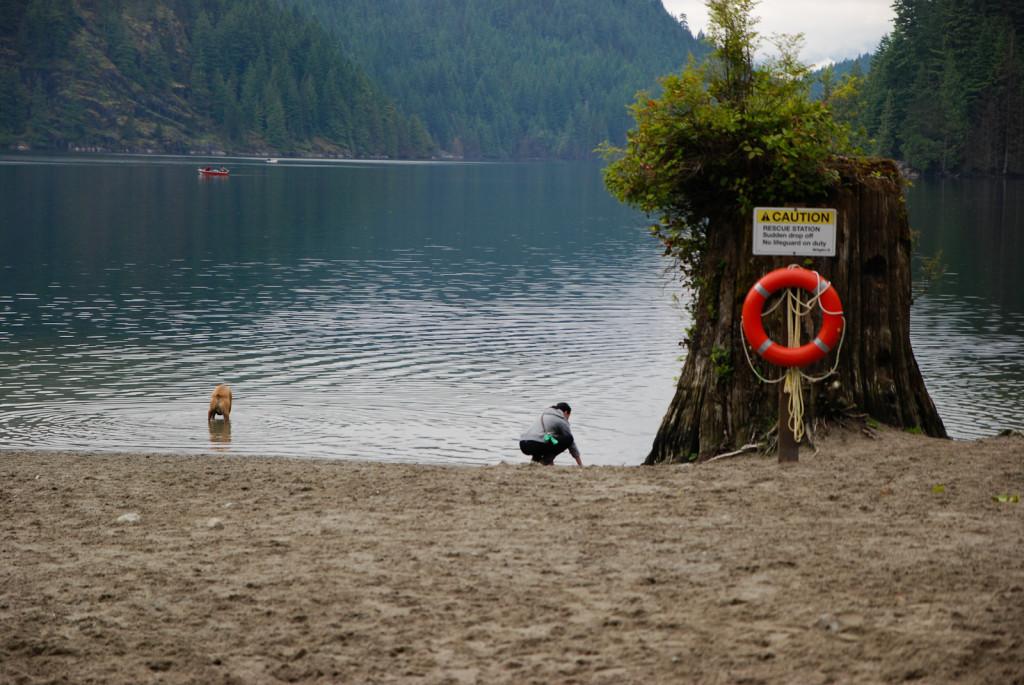 Buntzen Lake, Ze země trčí velké pařezy a z nich vyrůstají další stromy